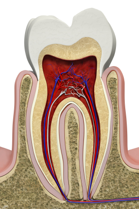 Diagram of cross section of Molar tooth used by Salem dentist at Oak Park Dental.